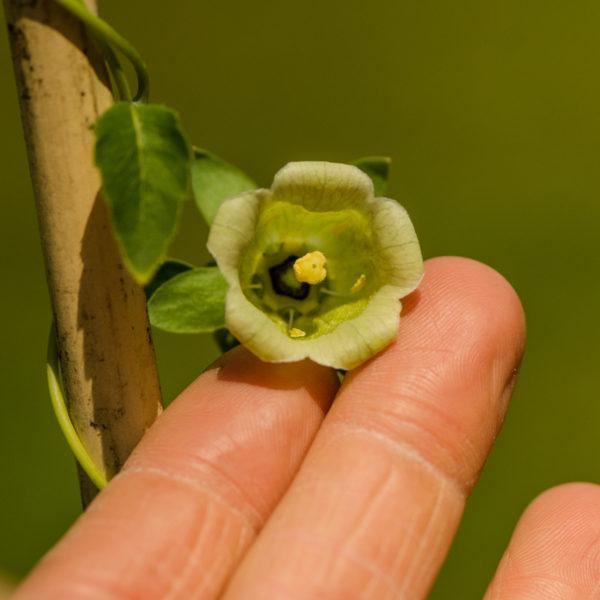 Codonopsis pilosula / Ginseng des pauvres (Codonopsis pilosula) | Jardin des vie-la-joie | Artisan semencier du Québec