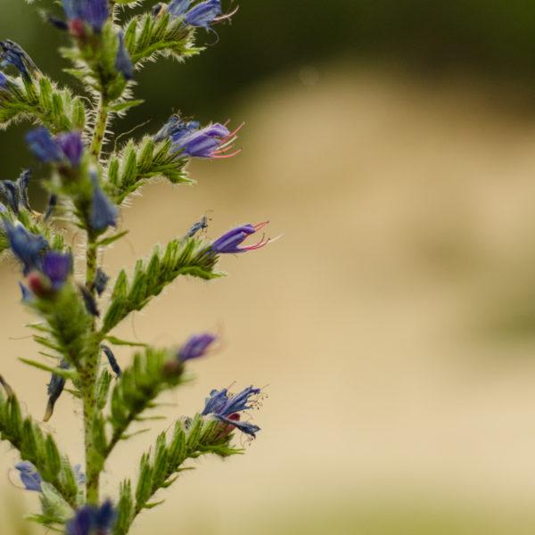 Vipérine (Echium vulgare) | Jardin des vie-la-joie | Artisan semencier