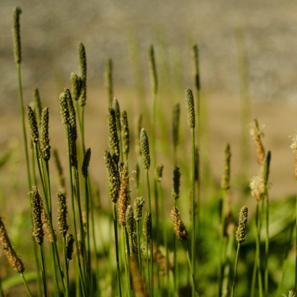 Plantain lancéolé (Plantago lanceolata) | Jardin des vie-la-joie | Artisan semencier du Québec