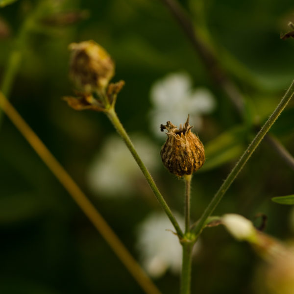 Compagnon blanc (Silene latifolia) | Jardin des vie-la-joie | Artisan semencier