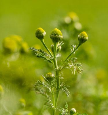 Matricaire odorante (Matricaria discoidea) | Jardin des vie-la-joie | Artisan semencier