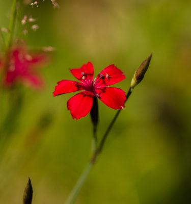 Oeillet arméria rouge (Dianthus armeria) | Jardin des vie-la-joie | Artisan semencier