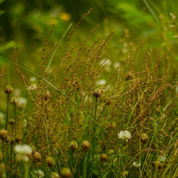 Peite oseille (Rumex acetosella) | Jardin des vie-la-joie | Artisan semencier