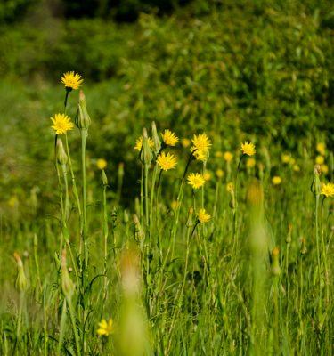 Salsifis des prés (Tragopogon pratensis) | Jardin des vie-la-joie | Artisan semencier