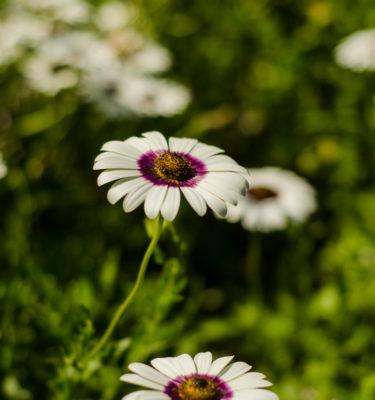 Souci du cap (Dimorphotheca pluvialis) | Jardin des vie-la-joie | Artisan semencier du Québec
