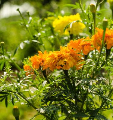 Oeillet d'inde Tagètes (Tagetes erecta) | Jardin des vie-la-joie | Artisan semencier