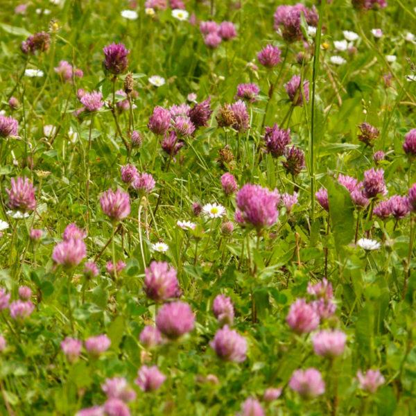 Trèfle rouge (Trifolium pratense) | Jardin des vie-la-joie | Artisan semencier