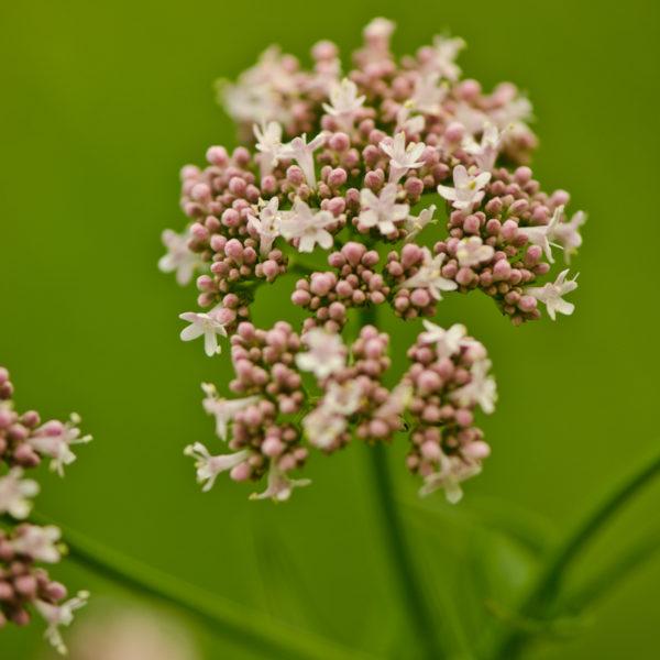 Valériane officinale (Valeriana officinalis) | Jardin des vie-la-joie | Artisan semencier
