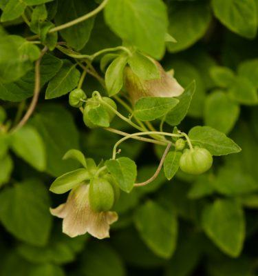 Semences de codonopsis pilosula