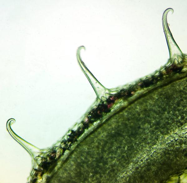 Gaillet gratteron (Galium aparine) | Jardin des vie-la-joie | Artisan semencier