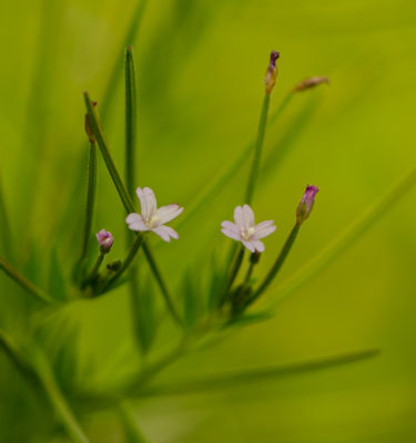 Épilobe cilié / glanduleux ( Epilobium ciliatum subsp. glandulosum) | Jardin des vie-la-joie | Artisan semencier