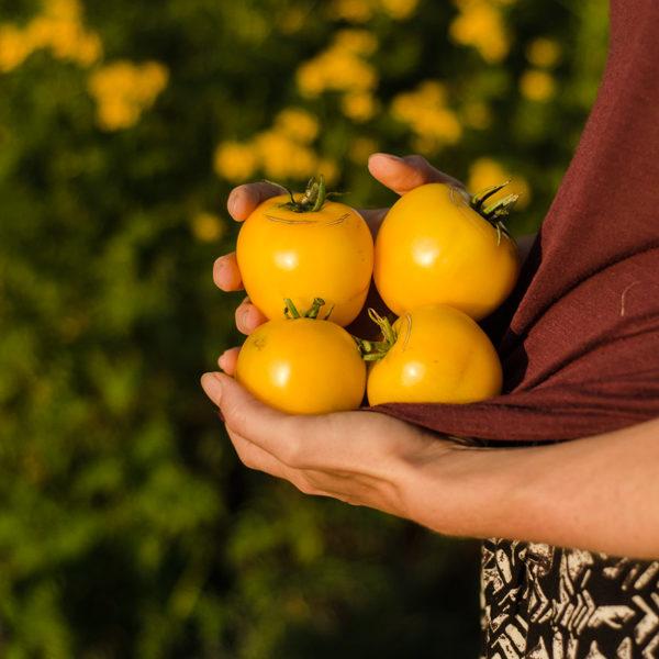 Tomate taxi (Lycopersicon esculentum) | Le jardin des vie-la-joie| Artisan semencier du Québec