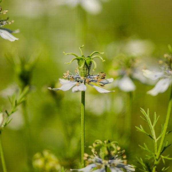 Semences de nigelle cultivée (cumin noir) (Nigella sativa) | Jardin des vie-la-joie | Artisan semencier