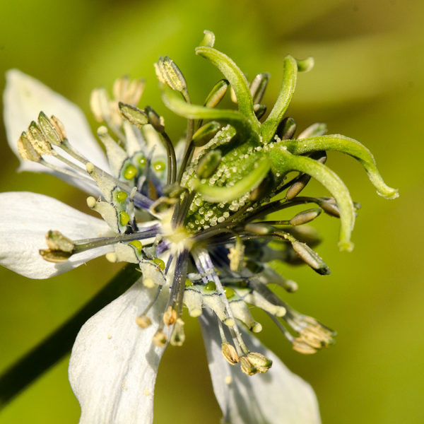 Nigelle (Nigella sativa) | Jardin des vie-la-joie | Artisan semencier