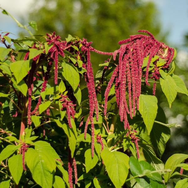 Amaranthe 'Love-lies-bleeding' (Amaranthus caudatus) | Jardin des vie-la-joie | Artisan semencier