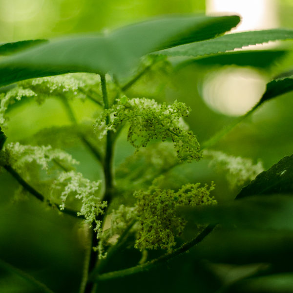 Ortie des bois / Ortie du Canada (Laportea canadensis) | Jardin des vie-la-joie | Artisan semencier