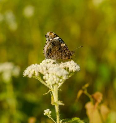 Semences d'eupatoire perfoliée (Eupatorium perfoliatum) | Jardin des vie-la-joie | Artisan semencier