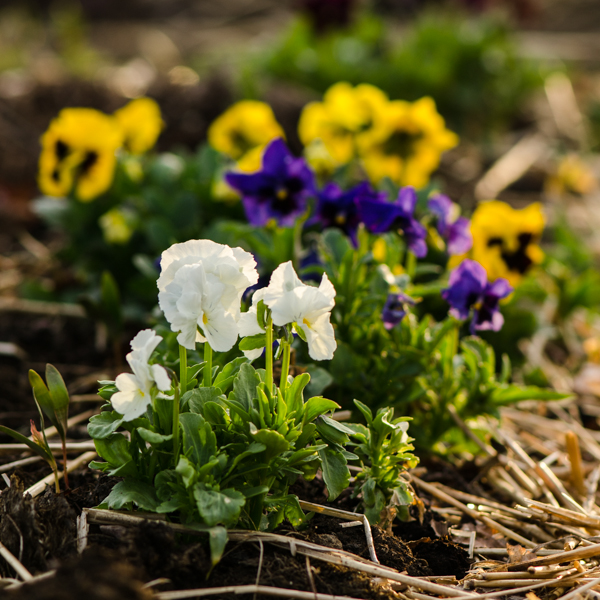 Semences de pensée géante de Suisse (Viola wittrockiana) | Jardin des vie-la-joie | Artisan semencier