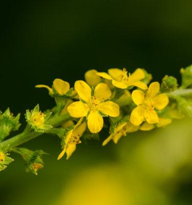 Aigrmoine striée (Agrimonia striata / eupatoria) | Jardin des vie-la-joie | Artisan semencier