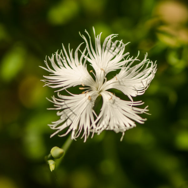 Oeillet superbe (Dianthus sperbus) | Jardin des vie-la-joie | Artisan semencier