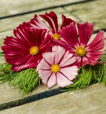 Cosmos Velouette (Cosmos bipinnatus) | Jardin des vie-la-joie | Artisan semencier