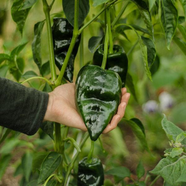 Piment Ancho Poblano (Capsicum annuum)   Jardin des vie-la-joie   Artisan semencier
