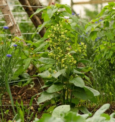 Semences de tabac sacré (Nicotiana rustica) | Jardin des vie-la-joie | Artisan semencier