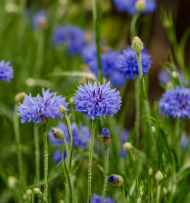 Centaurée Bleuet (Centaurea cyanus) | Jardin des vie-la-joie | Artisan semencier