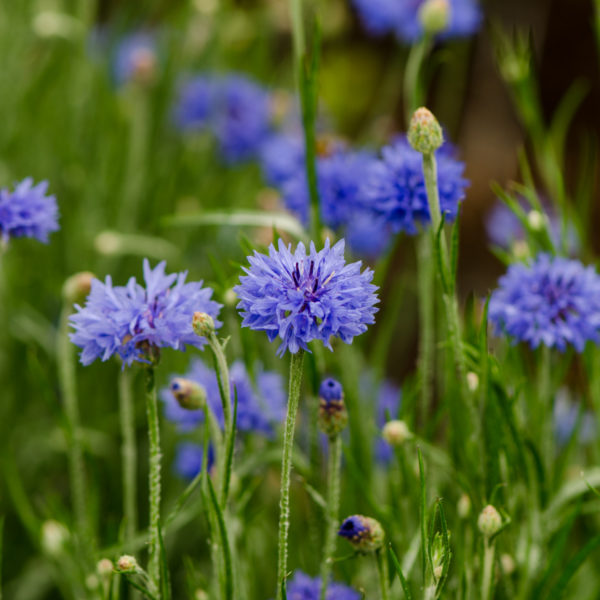 Centaurée Bleuet (Centaurea cyanus)   Jardin des vie-la-joie   Artisan semencier