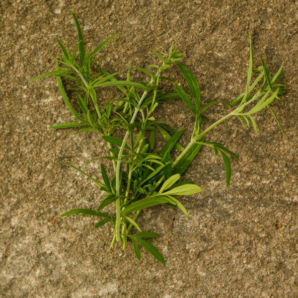 Cataire japonaise (Schizonepeta tennifolia synonymes Schizonepeta multifida, Nepeta multifida) | Jardin des vie-la-joie | Artisan semencier