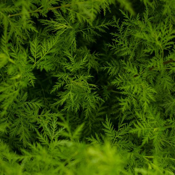 Armoise annuelle (Artemesia annua) | Jardin des vie-la-joie | Artisan semencier