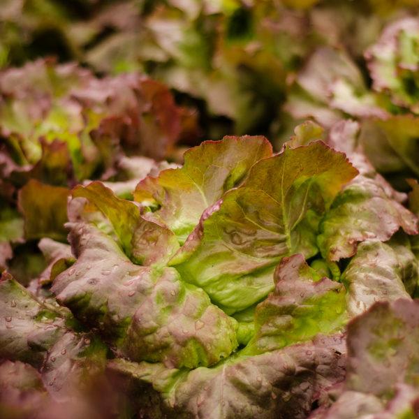 Laitue Sangria (Lactuca sativa) | Jardin des vie-la-joie | Artisan semencier