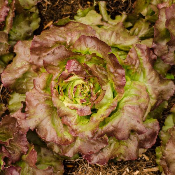 Semences de laitue Sangria (Lactuca sativa) | Jardin des vie-la-joie | Artisan semencier