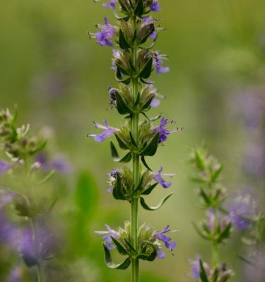 Hysope officinale (Hyssopus officinalis) | Jardin des vie-la-joie | Artisan semencier