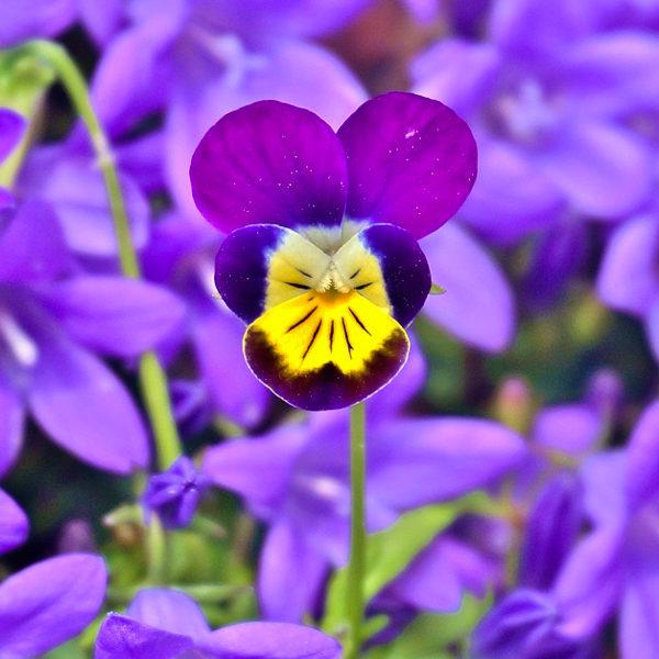 Pensée sauvage (Viola tricolor)   Jardin des vie-la-joie   Artisan semencier