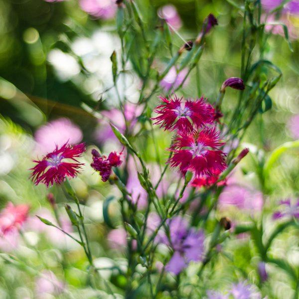 Semences Oeillet superbe (Dianthus sperbus) | Jardin des vie-la-joie | Artisan semencier