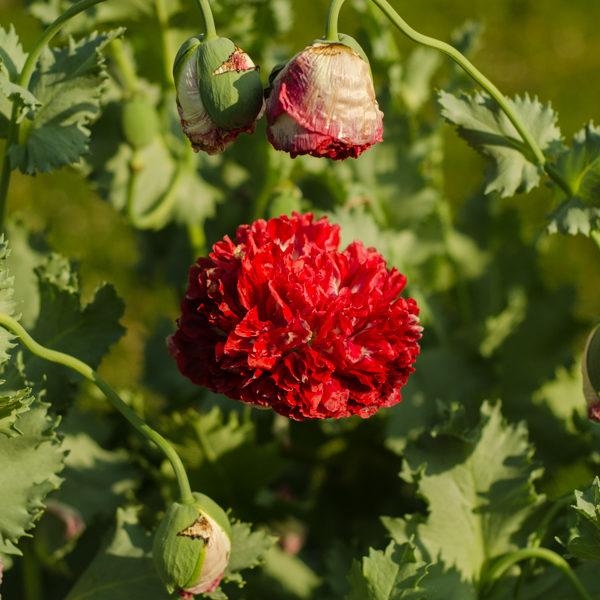 Pavot Flemish Antique ( Papaver paeoniflorum) | Jardin des vie-la-joie | Artisan semencier