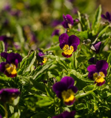 Pensée sauvage (Viola tricolor) | Jardin des vie-la-joie | Artisan semencier