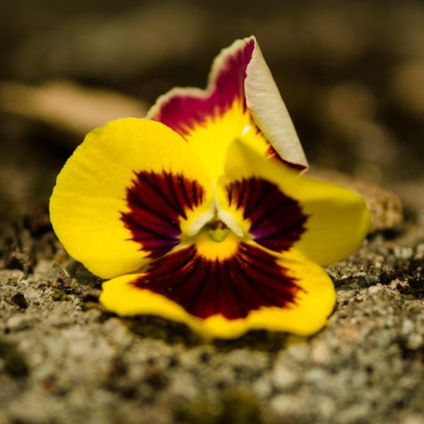 Pensée géante de Suisse (Viola wittrockiana) | Jardin des vie-la-joie | Artisan semencier