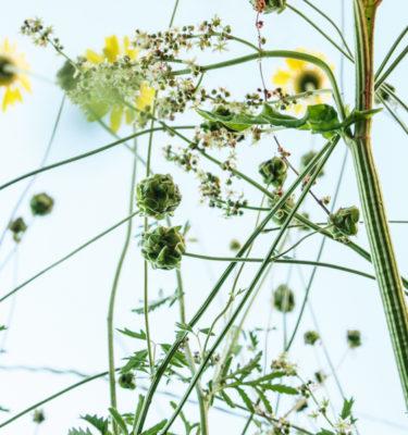 Pimprenelle (Sanguisorba minor) | Jardin des vie-la-joie | Artisan semencier