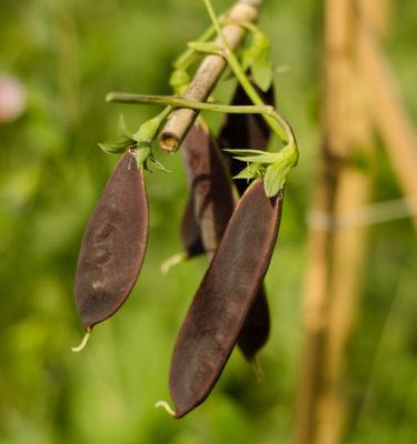 Pois à soupe 'Gotland Blue' (Psium sativum) | Jardin des vie-la-joie | Artisan semencier