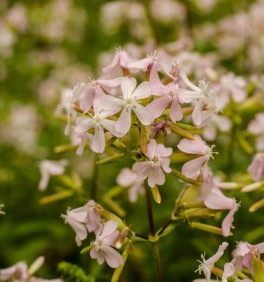 Saponaire officinale (Saponaria officinalis) | Jardin des vie-la-joie | Artisan semencier