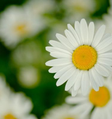 Semences de marguerite des champs (Leucanthemum vulgare) | Jardin des vie-la-joie | Artisan semencier