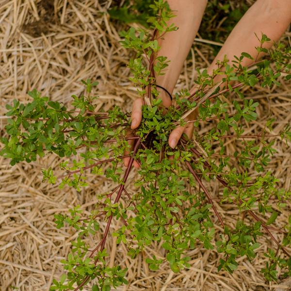 Pourpier d'été / Pourpier maraicher (Portulaca oleracea) | Jardin des vie-la-joie | Artisan semencier