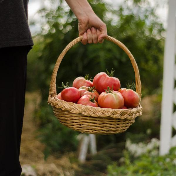 Tomate The dutchman (Lycopersicon esculentum) | Le jardin des vie-la-joie| Artisan semencier du Québec