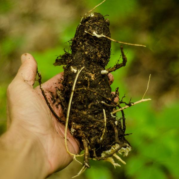 Aralie à grappes / Grande salsepareille (Aralia racemosa) | Le jardin des vie-la-joie| Artisan semencier du Québec
