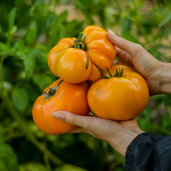 Tomate Brandy Wine Jaune (Lycopersicon esculentum) | Le jardin des vie-la-joie| Artisan semencier du Québec