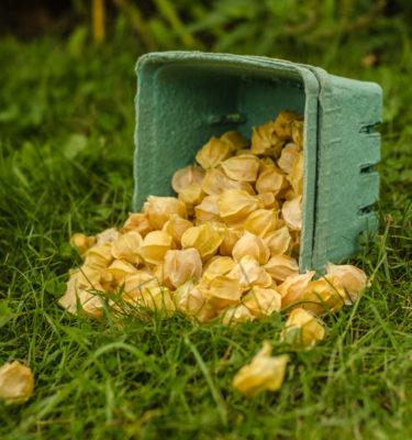 Cerise de terre Goldie (Physalis pruinosa) | Jardin des vie-la-joie | Artisan semencier