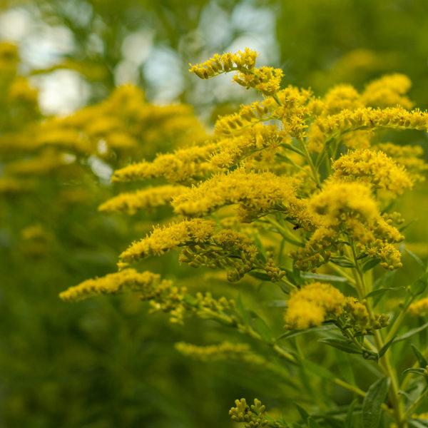 Semences de verge d'or (Solidago spp.) | Le jardin des vie-la-joie | Artisan semencier du Québec