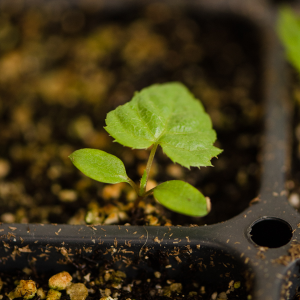 Semences de Aralie à grappes / Grande salsepareille (Aralia racemosa) | Le jardin des vie-la-joie | Artisan semencier du Québec